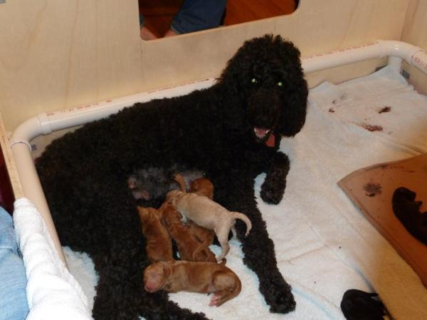 Daisy and her ten tiny poodle babies.